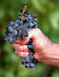 Hand crushing grapes
